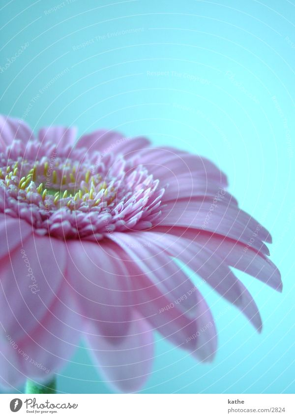 flower Flower Pink Light blue Leisure and hobbies Macro (Extreme close-up)