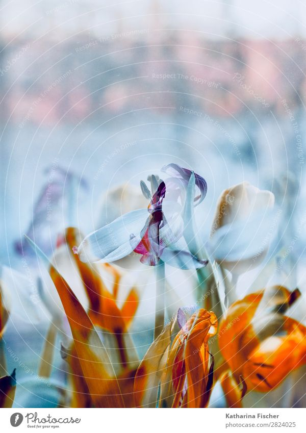 Flowers tulips wither double exposure Art Nature Plant Spring Summer Winter Tulip Leaf Blossom Bouquet Blossoming Illuminate Faded Yellow Gold Green Violet Pink