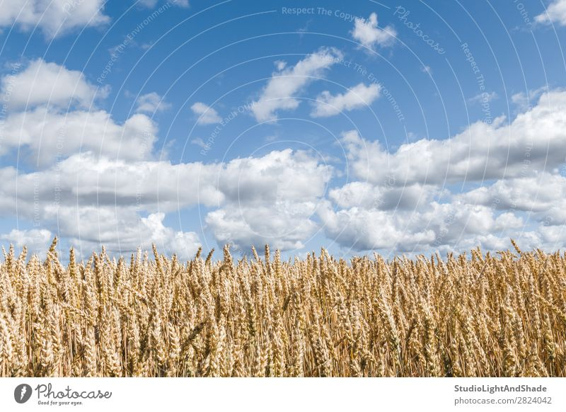 Golden wheat field under blue sky Beautiful Harmonious Calm Summer Culture Environment Nature Landscape Plant Sky Clouds Horizon Meadow Growth Bright Natural