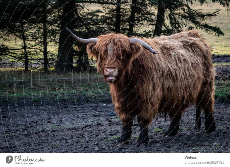 who is buckled? Animal Cow Cattle 1 Brown Highland cattle Antlers Central perspective Looking into the camera