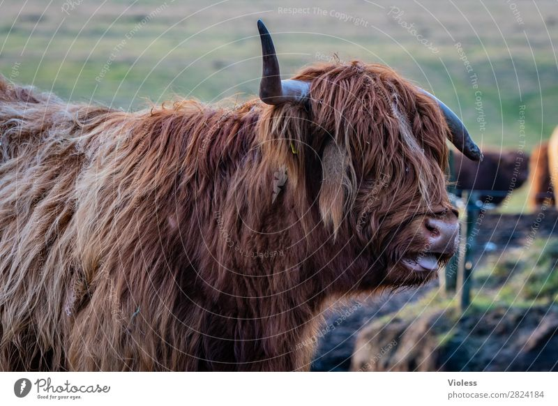 bääähh Highland cattle Scotland Cattle Cow Antlers Animal portrait Pelt