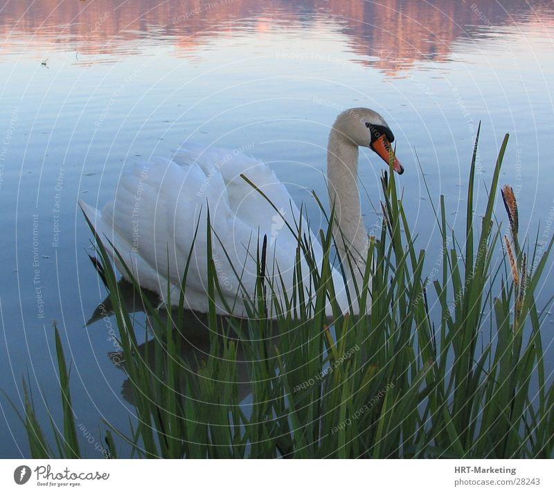 Lake Swan