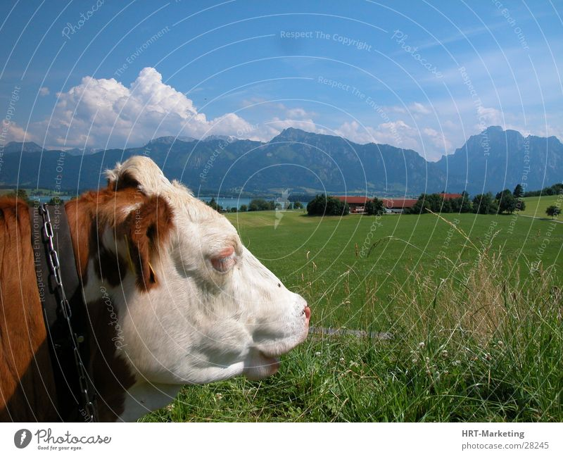 Cow off the Alps Meadow Mountain Sky