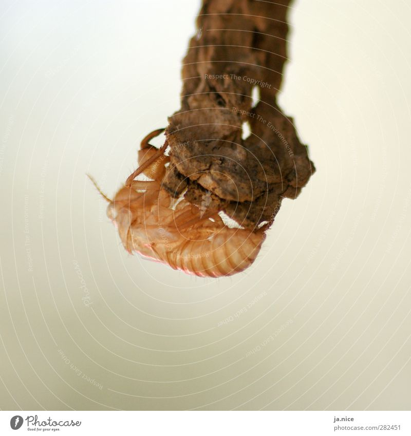 void Nature Animal Summer Tree Cicada Insect Sheath Shell 1 Hang Near Thorny Brown Orange Calm Purity Loneliness Eternity Stagnating Death Decline Molt Branch