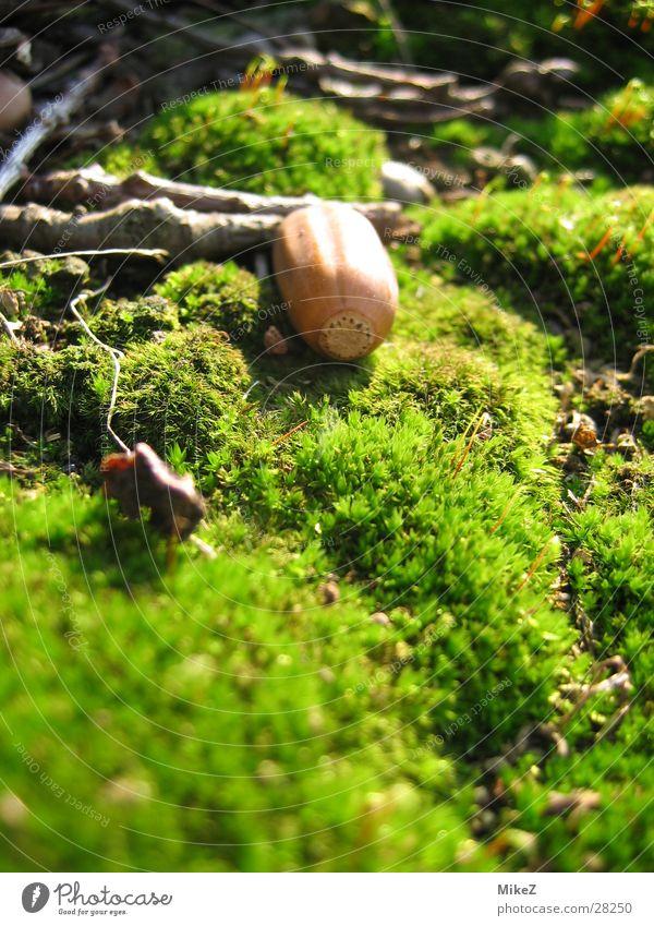 Nature Green Spring Moss Acorn