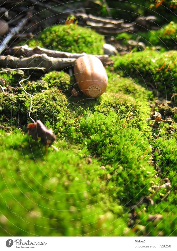 The dreamy glans Green Spring Acorn Macro (Extreme close-up) Nature Moss