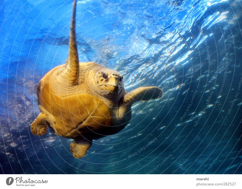 glide through the water Animal Wild animal Animal face Aquarium 1 Blue Yellow Turtle Tortoise-shell Giant tortoise Paddling Ocean South Africa Green turtles
