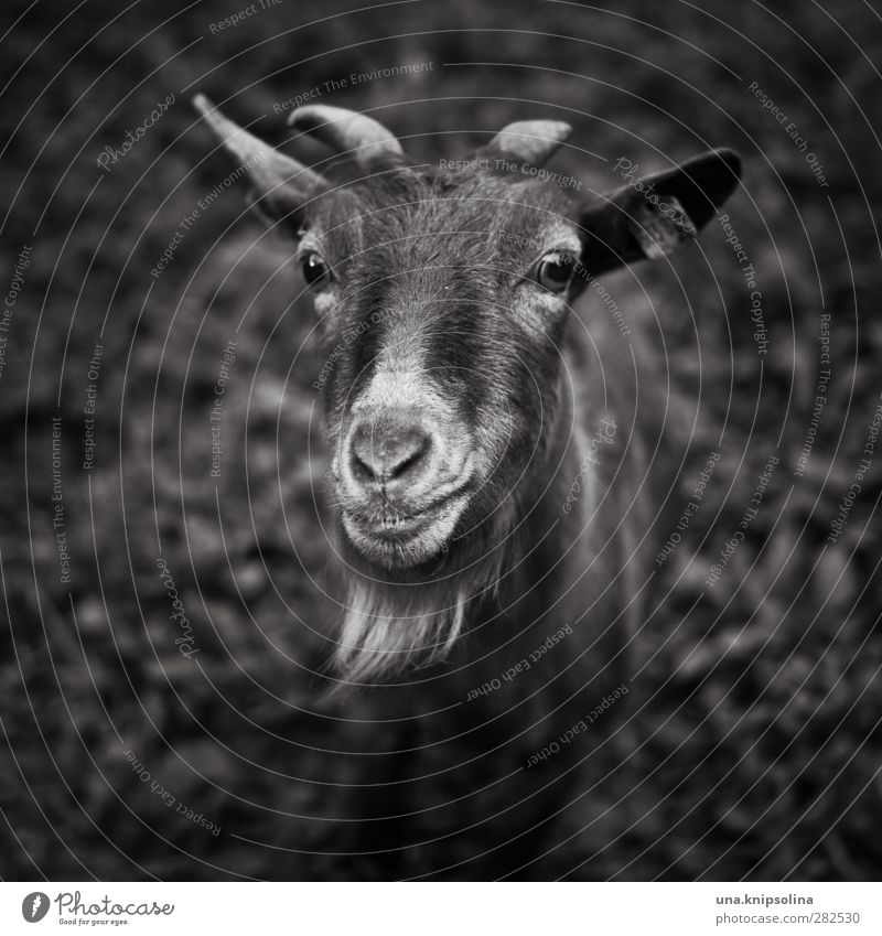 Mäh? Nature Animal Meadow Farm animal Animal face Pelt Goats He-goat Antlers 1 Observe Natural Curiosity Black & white photo Exterior shot