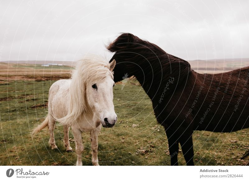Two beautiful horses on plain Horse Iceland Pasture Wind Landscape Nature tranquil Agriculture equestrian Wilderness Meadow Mammal Field Natural Animal stallion
