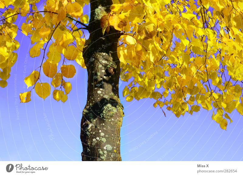 Yellow lime Nature Autumn Tree Leaf Illuminate Autumnal colours Autumn leaves Blue sky Tree trunk Lime tree Lime leaf Contrast Colour photo Multicoloured