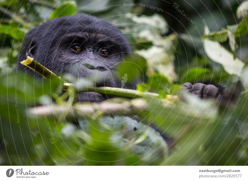 A Gorilla eats leaves in the jungle Nature Tree Animal Loneliness Forest Travel photography Wild animal Happiness Dangerous Cute Intellect Africa Mammal