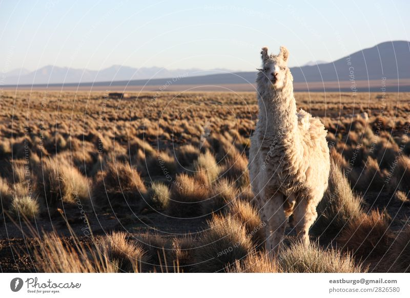Bolivian Llama on Altiplano Animal Farm animal 1 Feeding Copy Space Copy Space left Alpaca Mountain Agriculture Andes Autumn Loneliness Self-confident Pride