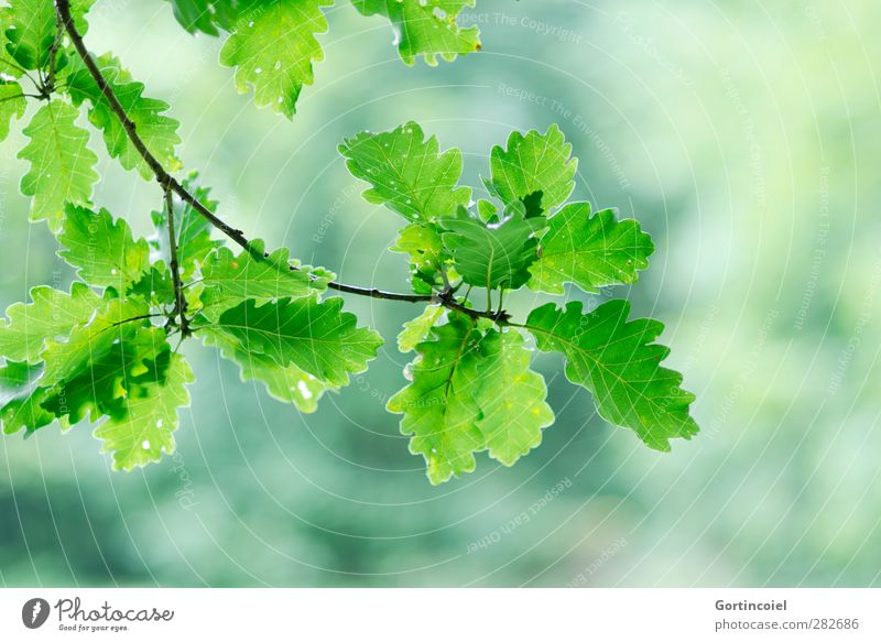 Nature Plant Green Leaf Forest Environment Autumn Autumnal Oak tree Twigs and branches Oak leaf