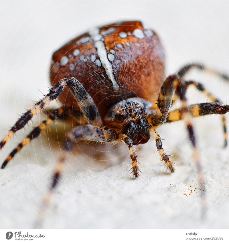 Am I crazy? Environment Animal Wild animal Spider Animal face Cross spider 1 Crucifix Observe To feed Crawl Sit Aggression Disgust Creepy Hideous Near Brown
