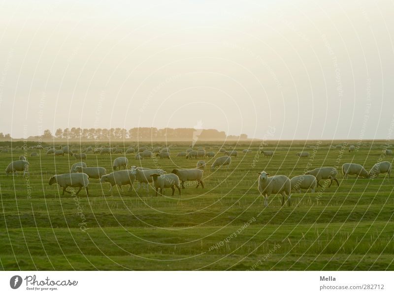 Lots of sheep Environment Nature Landscape Meadow Field Koog grove Wet meadow Salt meadow Pasture Farm animal Sheep Group of animals Herd To feed Going Stand