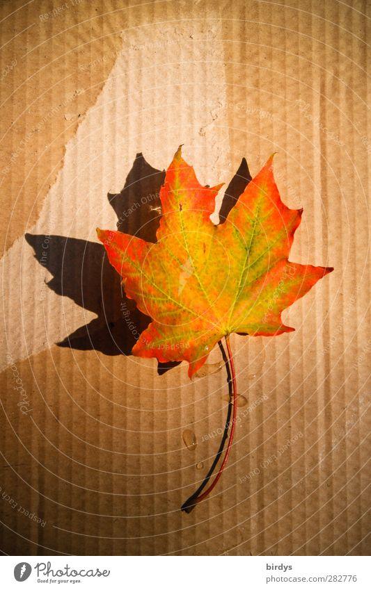 Beautiful Colour Leaf Warmth Autumn Illuminate Esthetic Beautiful weather Change Cardboard Positive Autumn leaves Autumnal Canada Maple leaf