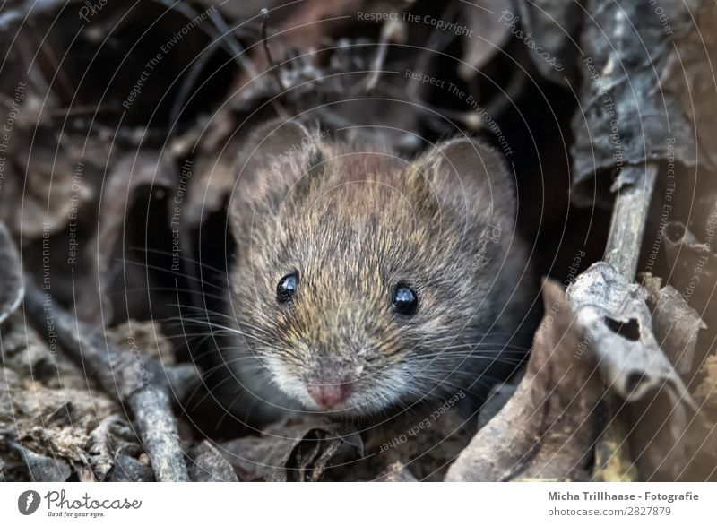 Field mouse looks out of the building Nature Animal Sunlight Leaf Twigs and branches Wild animal Mouse Animal face Pelt Field vole Eyes Ear Nose Beard hair 1