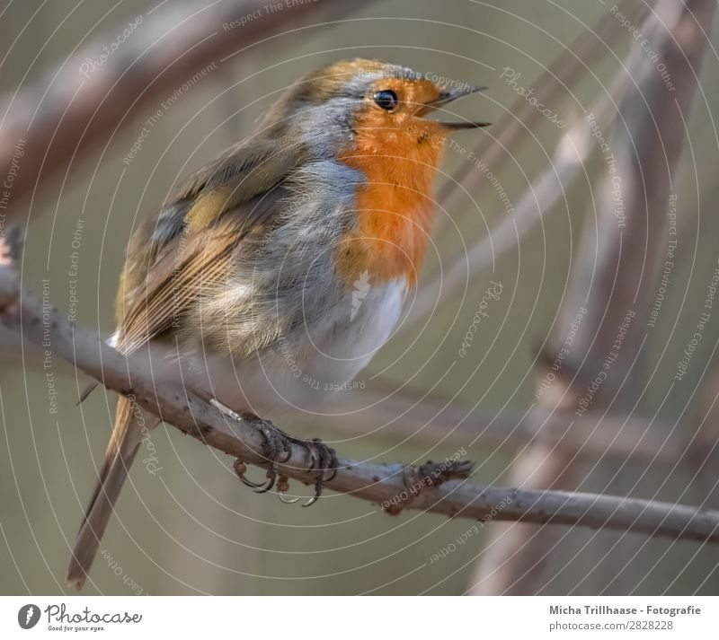 Singing robin Nature Animal Sunlight Beautiful weather Tree Twigs and branches Wild animal Bird Animal face Wing Claw Robin redbreast Beak Feather Eyes 1