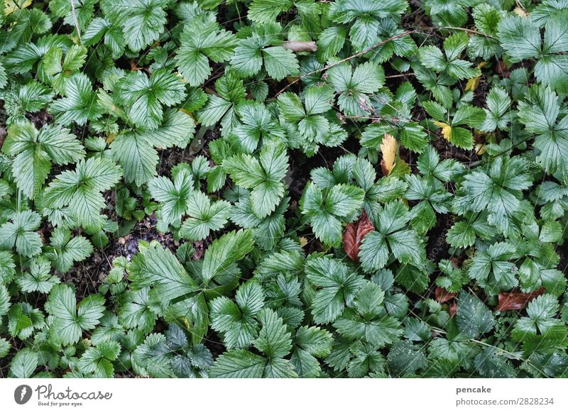 I'll be back in the woods soon. Nature Plant Elements Earth Spring Leaf Forest Healthy Green Wild strawberry Colour photo Exterior shot Close-up
