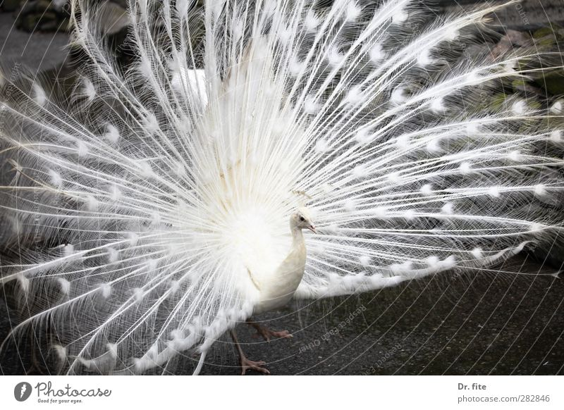 All in white. Animal Peacock 1 Exceptional Exotic White Self-confident Beautiful Power Boast Albino Exterior shot Contrast