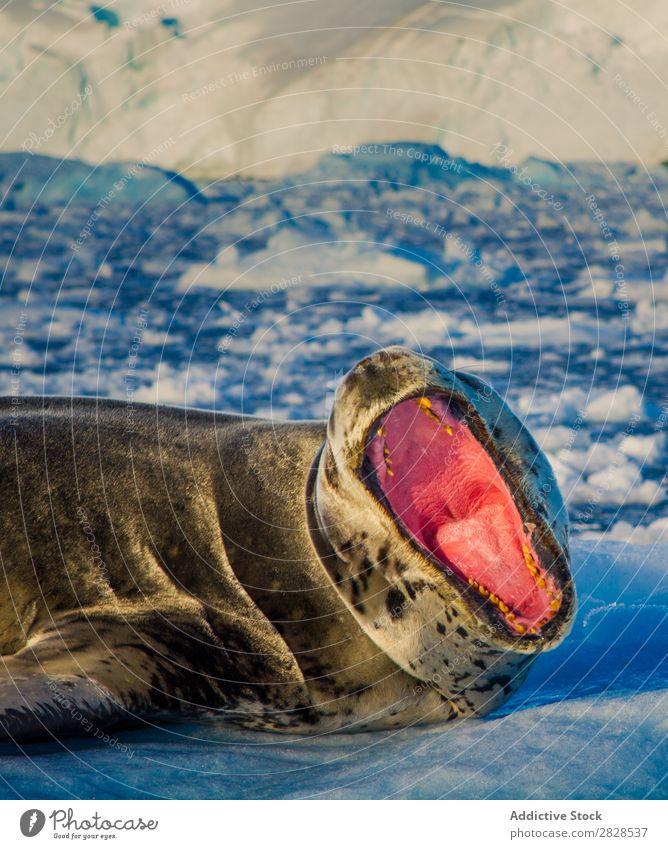 Sea lion with mouth open Nature Antarctica Ice Cold Ocean South Iceberg Snow warming wildlife polar Climate Bird Penguin Colony Exterior shot White Bay