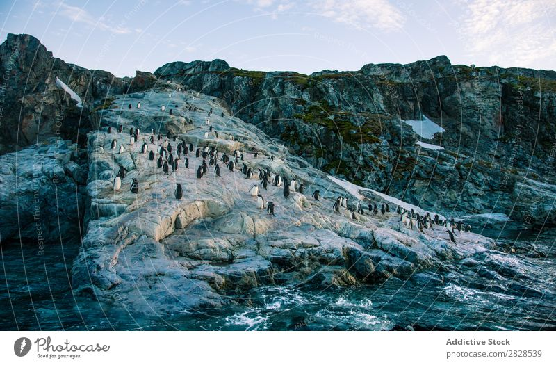 Arctic penguins in Wild Nature Landscape Antarctica Ice Cold Ocean South Iceberg Snow warming wildlife polar Climate Bird Penguin Colony Exterior shot White Bay