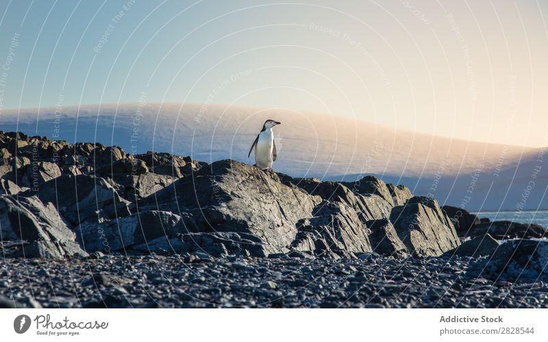 Arctic penguin Nature Antarctica Ice Cold Ocean South Iceberg Snow warming wildlife polar Climate Bird Penguin Colony Exterior shot White Bay Landscape