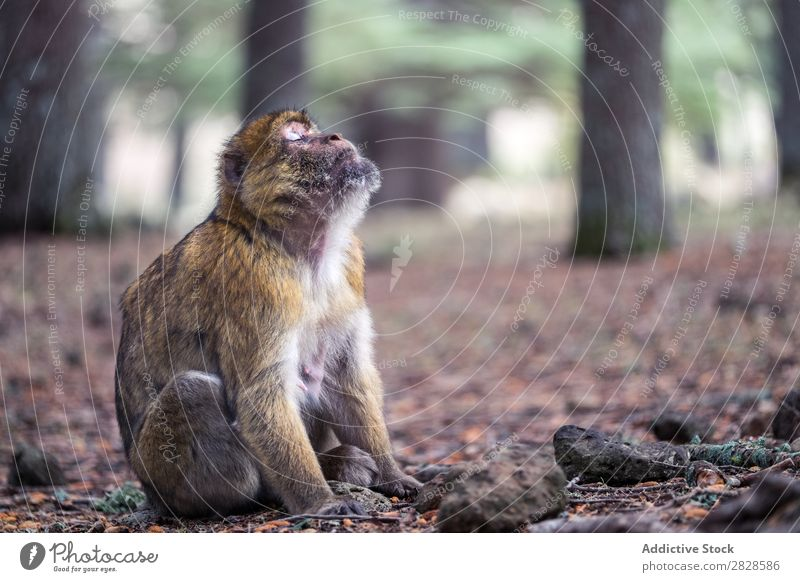 Expressive monkey sitting on ground Monkeys Sit Ground Cute Animal eyes closed Dream wildlife Wild Nature Forest Park Virgin forest primate Apes Mammal Brown