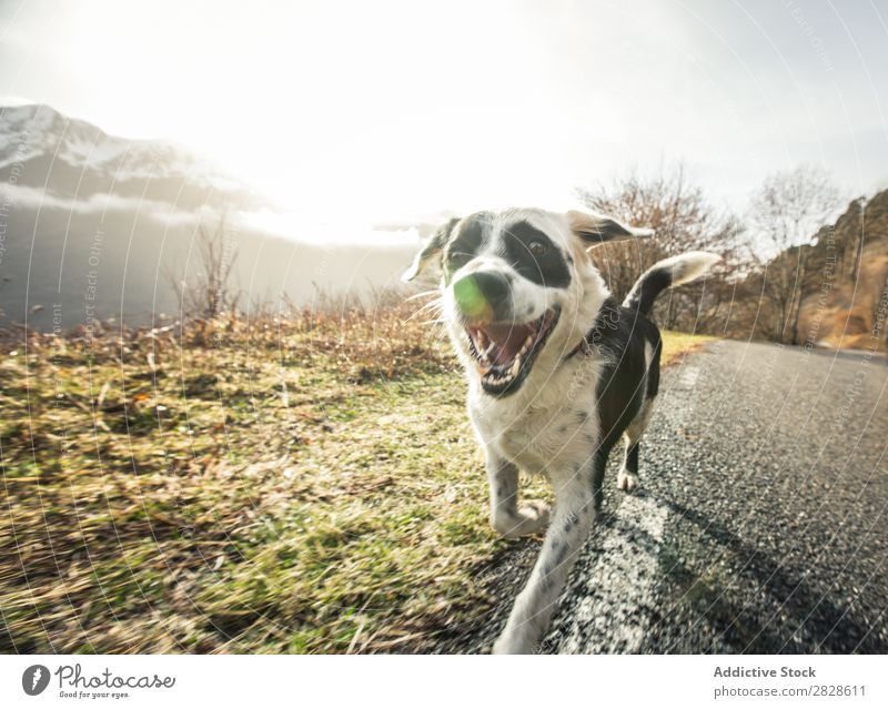 Happy dog running in a country road Street Joy Playing Green Pet Dog Animal Beautiful Grass Youth (Young adults) Nature Exterior shot Cute agility Earth