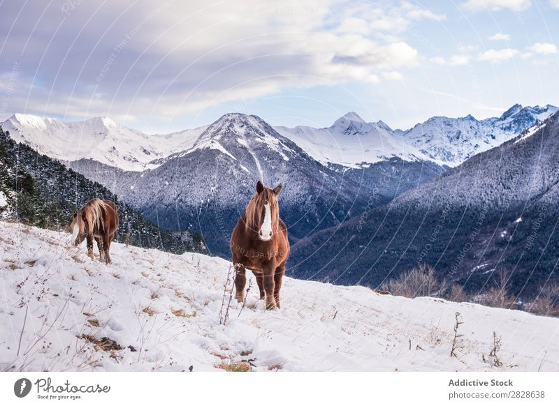 Horses on winter mountains Pasture Mountain Winter Landscape Animal Nature Wild Beautiful Beauty Photography Brown Chestnut Seasons Mammal Rural Snow Cold