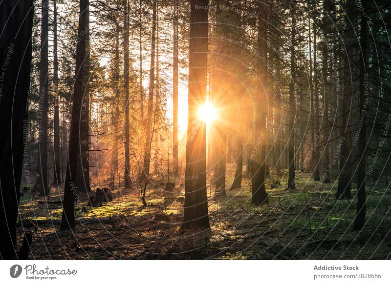 Sunbeams through trees in woods Forest Sunlight Wilderness Bright Evergreen Calm