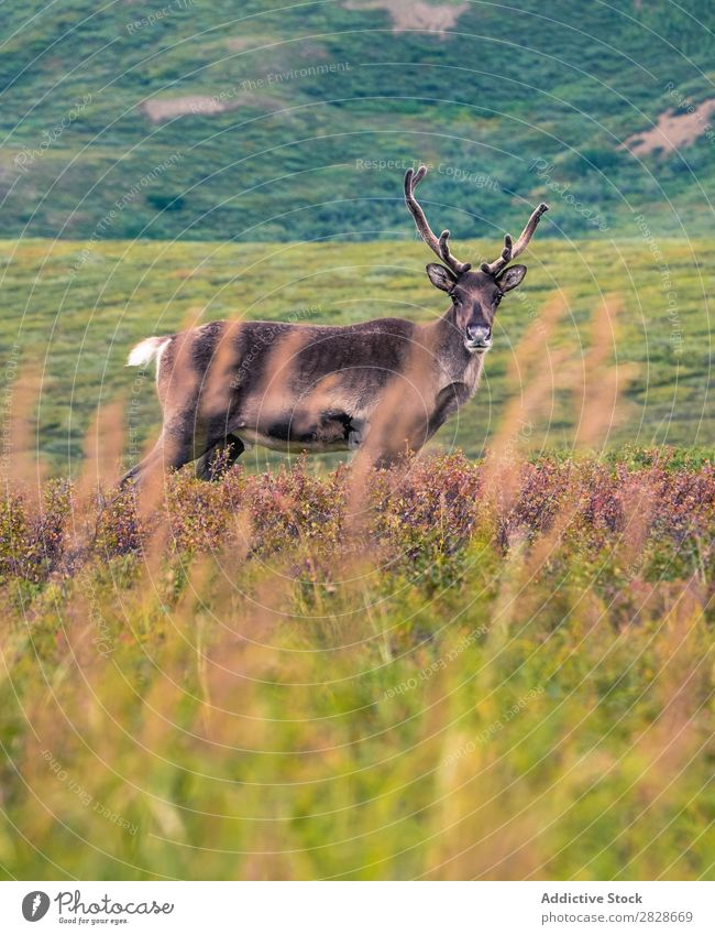 Deer standing in green field Field Animal Landscape Mammal Natural Antlers Nature