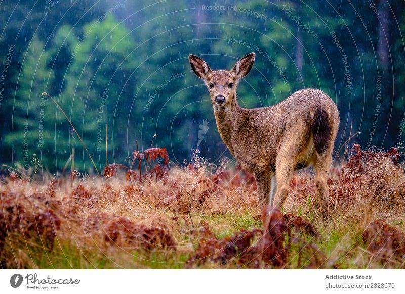Deer in rain on plain Plain Rain Natural Mammal Woman Animal Habitat Grassland national fauna Forest Wilderness wildlife Weather conservation Brown Nature Wood