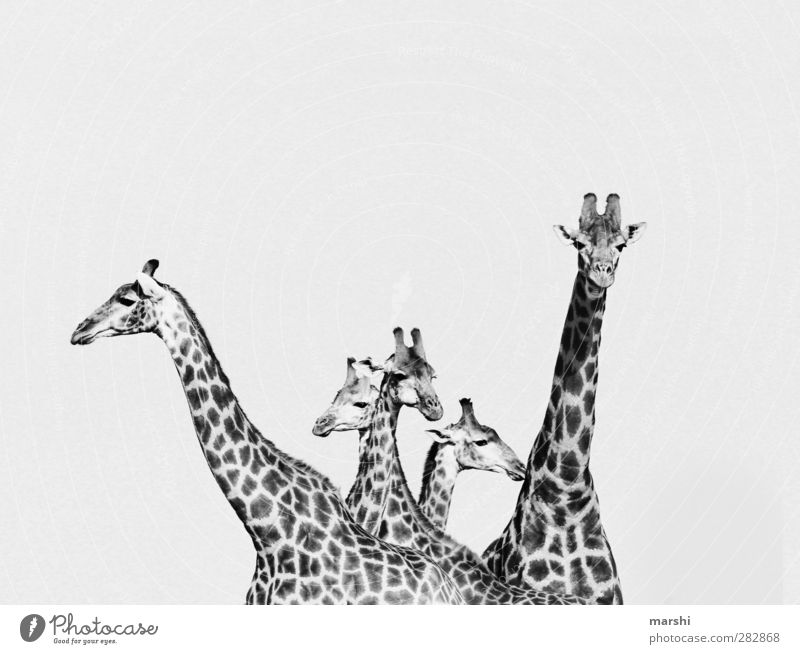 beauties Animal Wild animal Animal face Herd Animal family Black White Giraffe Speckled Patch Safari South Africa Neck Beautiful Black & white photo