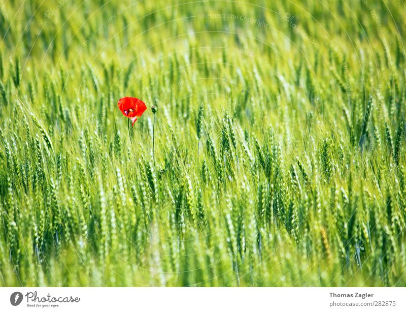 lonely beauty Organic produce Grain Grain field Agriculture Forestry Nature Landscape Plant Summer Blossom Foliage plant Agricultural crop Field Relaxation