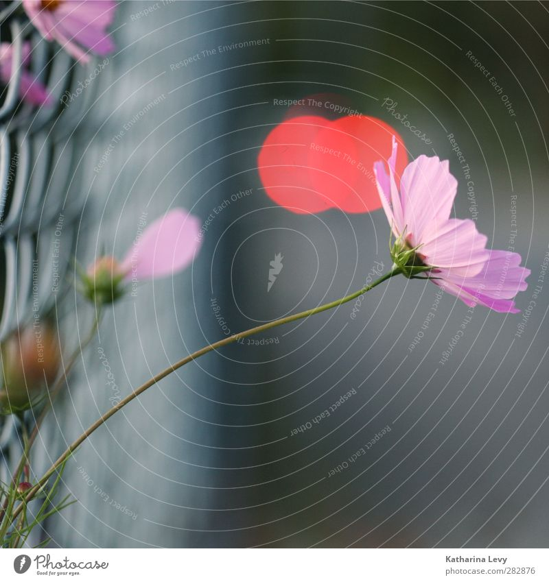 escapee Plant Summer Flower Garden Fence Wire netting fence Fresh Beautiful Small Natural Rebellious Gray Pink Red Colour photo Exterior shot Deserted