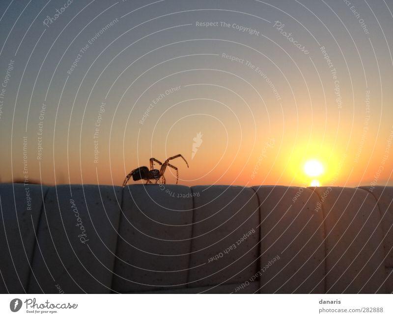 spider in the evening... Nature Landscape Sky Sun Sunrise Sunset Sunlight Summer Beautiful weather Coast Beach Animal Spider 1 Observe Movement Crawl Sex