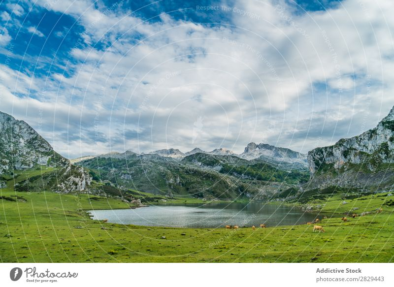 Pasture and lake in mountains Mountain Meadow Lake Cow Landscape Grass Nature Field Rural Summer Landing Picturesque Seasons Scene Lawn Vacation & Travel