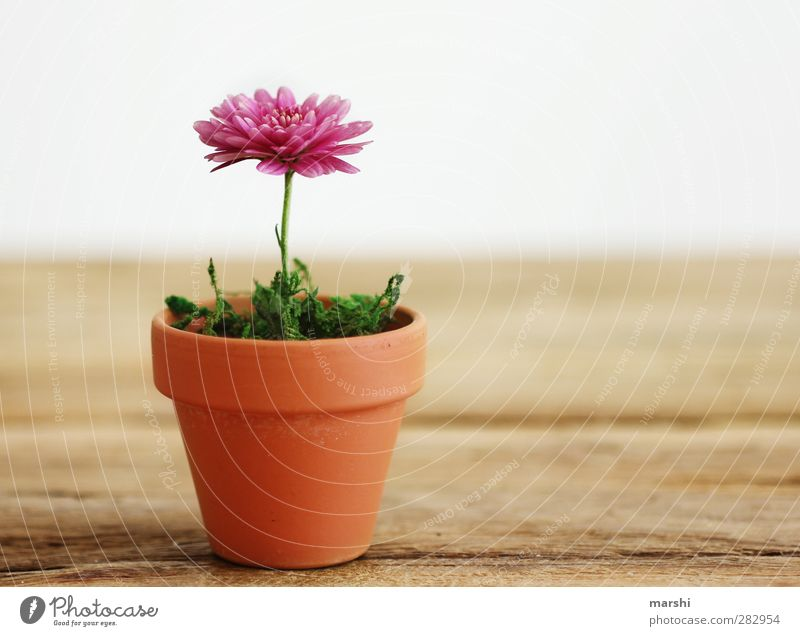 houseplant Plant Spring Summer Autumn Flower Brown Green Pink Flowerpot Houseplant Growth Blossoming Small Decoration Colour photo Interior shot Detail