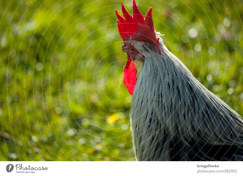 The redhead Boss Nature Grass Meadow Alps Animal Farm animal Wing Rooster 1 Observe Elegant Curiosity cockscomb Red Feather Home country Agriculture Leader