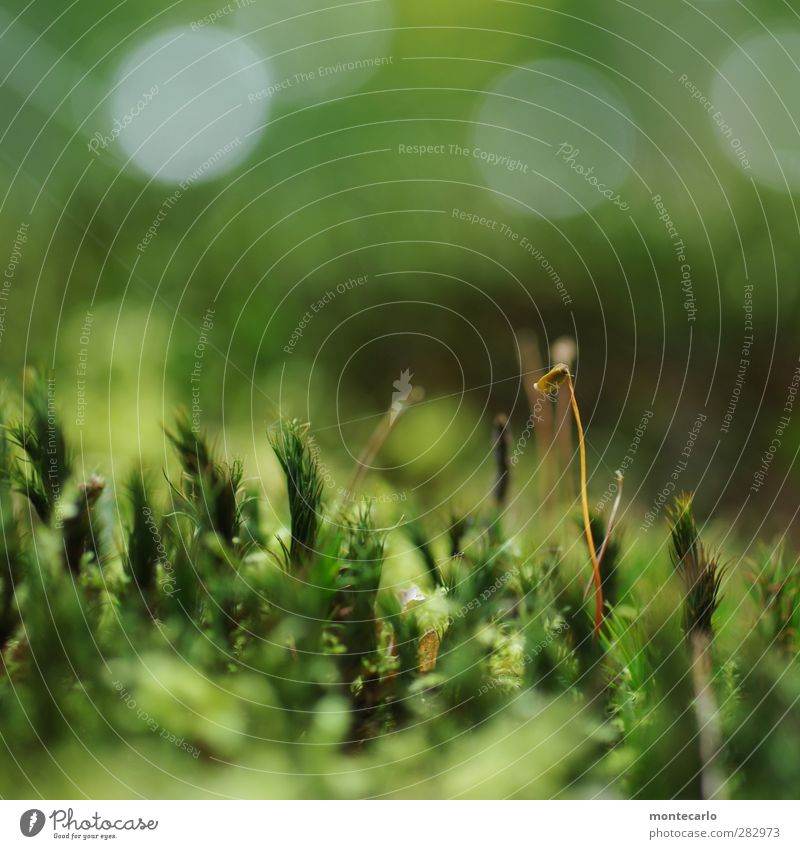the silk thread Environment Nature Plant Summer Grass Moss Blossom Foliage plant Wild plant moss blossom Forest Esthetic Thin Authentic Simple Fresh Tall Small
