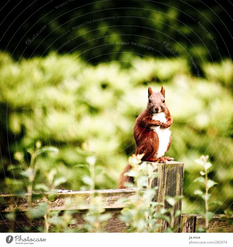 On the wall, on the lurk Nature Spring Plant Garden Animal Wild animal Squirrel 1 Fence Wood Looking Sit Stand Wait Friendliness Astute Near Natural Brown Green