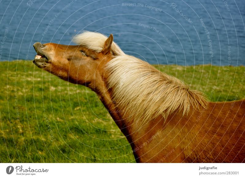 Nature Water Animal Environment Grass Freedom Funny Natural Wild Horse Iceland Farm animal Iceland Pony Whinny