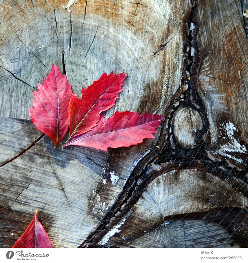 Red on wood Nature Autumn Blossom Wood Autumn leaves Rachis Annual ring Texture of wood Tree trunk Leaf Autumnal Autumnal colours Colour photo Multicoloured