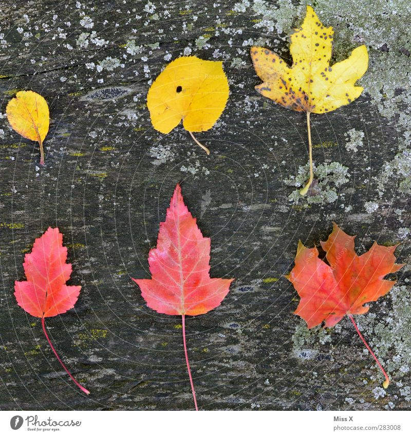 Yellow-Red Autumn Leaf Wood Multicoloured Autumn leaves Autumnal Autumnal colours Maple leaf Lime leaf Tree trunk Moss Collection Accumulation Colour photo