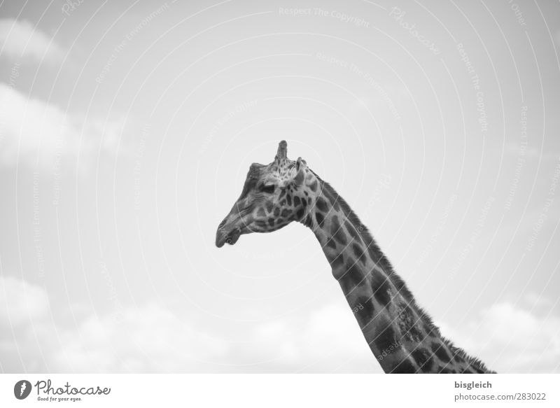 Giraffe III Animal Wild animal 1 Looking Gray Sky Black & white photo Exterior shot Deserted Copy Space top Day Animal portrait