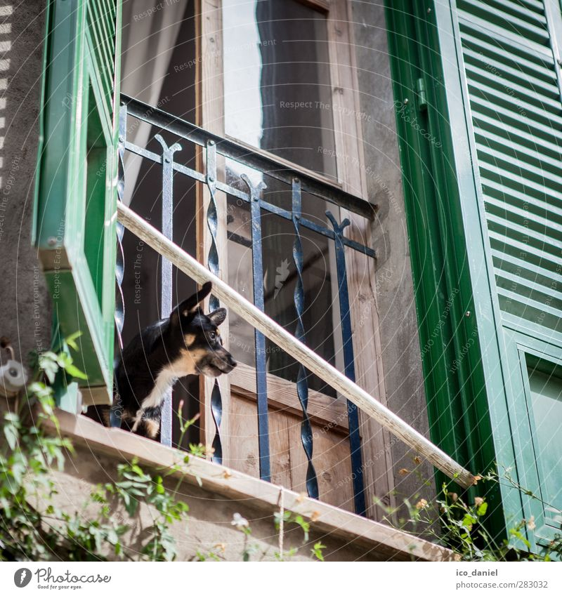 Large flap Vacation & Travel Tourism Trip Valldemossa Village Old town Populated Facade Window Animal Pet Dog 1 Aggression Small Wauwau Loud Majorca