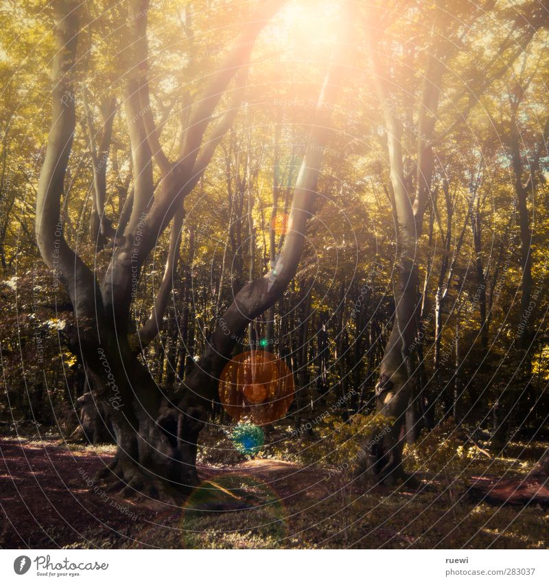 Shines a little light in the forest Senses Calm Trip Sun Forestry Environment Nature Landscape Plant Earth Sunlight Summer Autumn Beautiful weather Tree