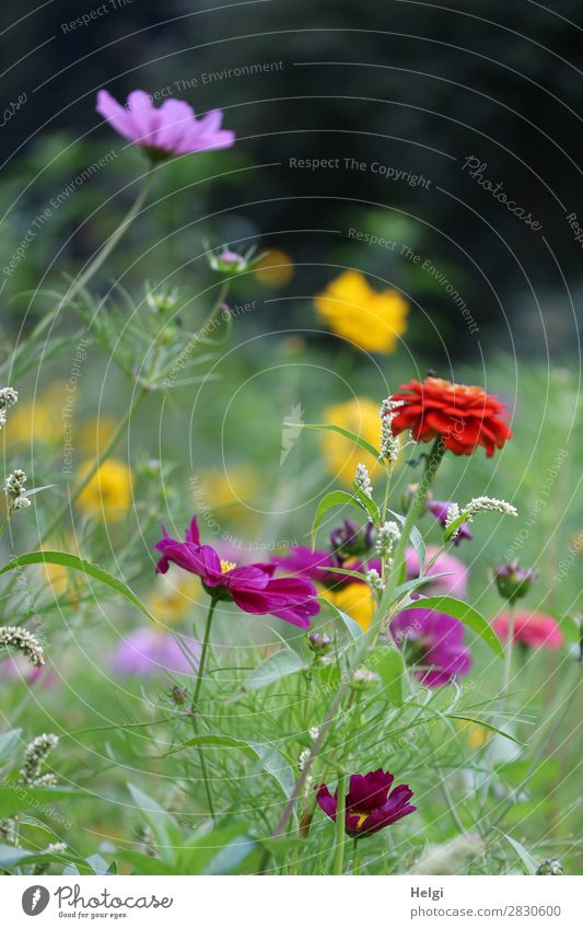 many colourful summer flowers on a flower meadow Environment Nature Plant Summer Beautiful weather Flower Leaf Blossom Cosmos Park Blossoming Growth Fragrance