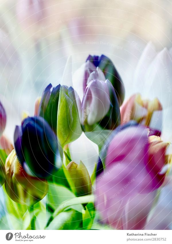 Tulips Purple pink yellow Art Nature Plant Spring Summer Autumn Winter Flower Leaf Blossom Bouquet Blossoming Illuminate Yellow Gold Green Violet Orange Pink